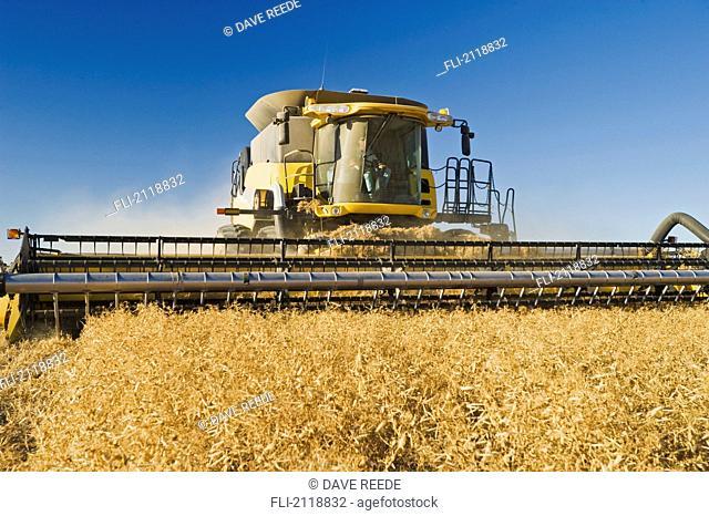 Field Pea Harvest, Ponteix Saskatchewan Canada