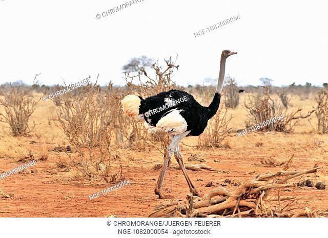 Male African Ostrich
