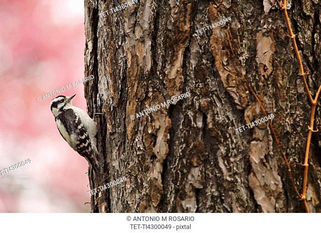 Downy woodpecker on tree