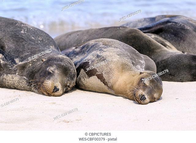 Ecuador, Galapagos Islands, Santa Fe, Galapagos sea lions sleeping on the beach