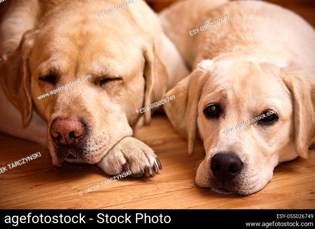 young and old labradors