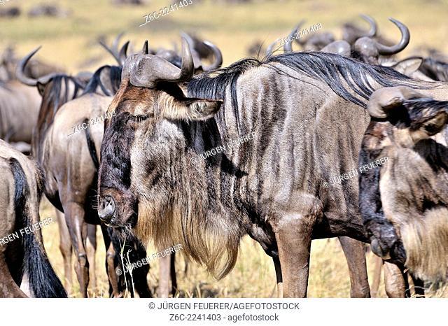 Wildebeests, Connochaetes Taurinus, in Masai Mara, Kenya