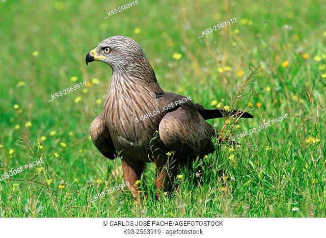 Black Kite (Milvuns migrans). Monfrague National Park. Extremadura. Spain