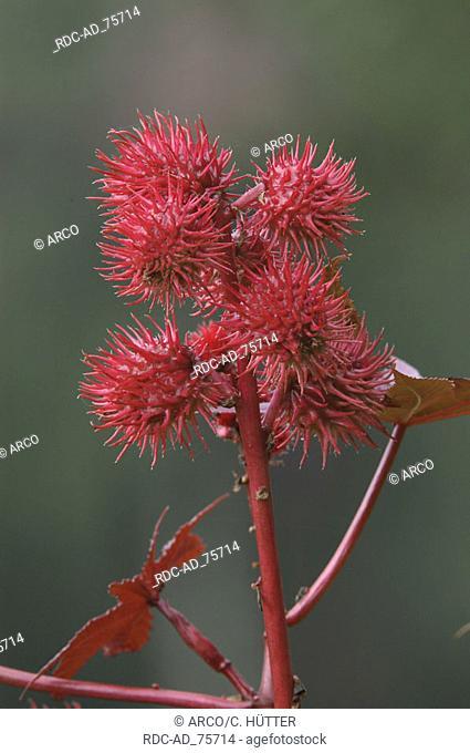 Ricinus Ricinus communis
