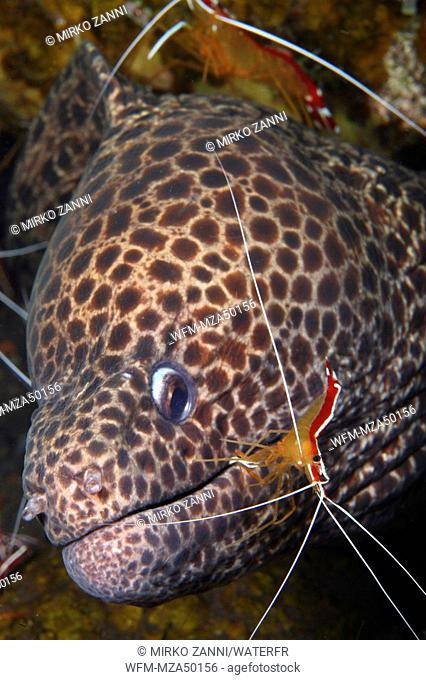 Blackspotted Moray with white-banded Cleaner Shrimp, Gymnothorax isingteena, Lysmata amboinensis, Bali, Indonesia