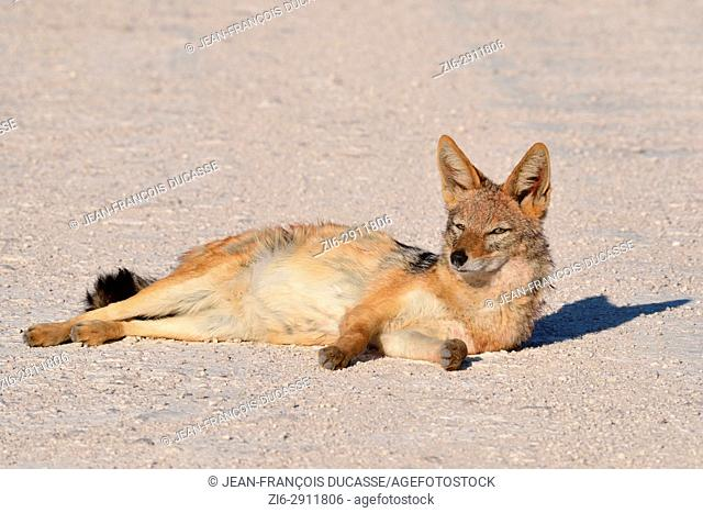 Black-backed jackal (Canis mesomelas) resting on a gravel road, Etosha National Park, Namibia, Africa