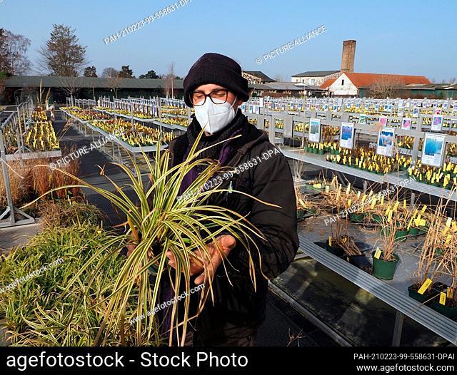 23 February 2021, Brandenburg, Potsdam: Gardener Björn Neue checks two Carex Foliosissima 'Vanilla Ice' (yellow-flowered sedge) in Foerster's perennial garden...