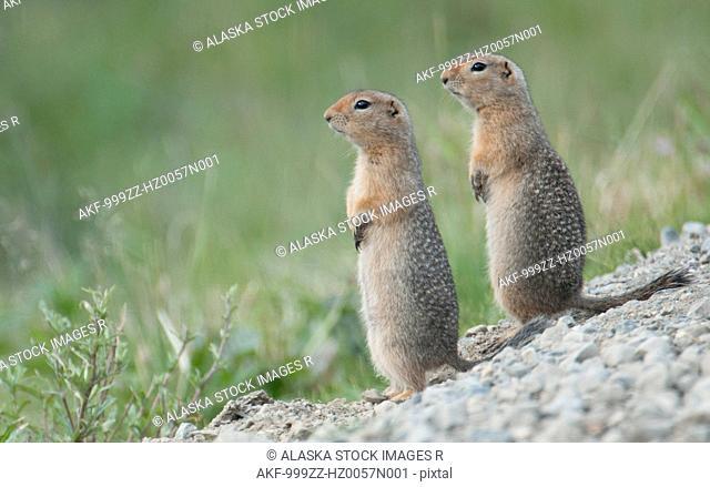 Two Parka Squirrels stand alert for danger in Denali National Park & Preserve, Interior Alaska, Summer