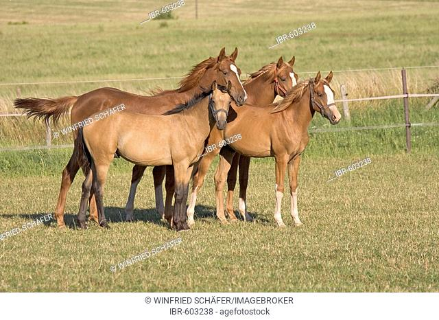 Several Oldenburg stallions standing together in a meadow, Vulkaneifel, Germany, Europe
