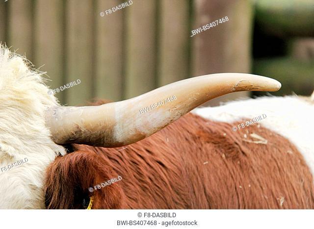 Hinterwald, Hinterwaelder-Rind, Hinterwaelder cattle (Bos primigenius f. taurus), horn, Germany