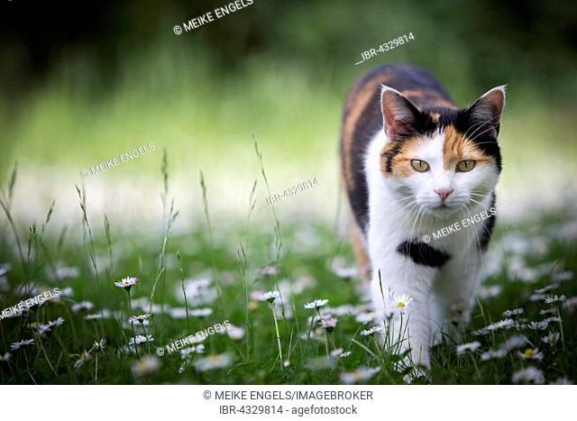 Calico cat (Felis silvestris catus) walking through a meadow with daisies (Bellis perennis), Germany
