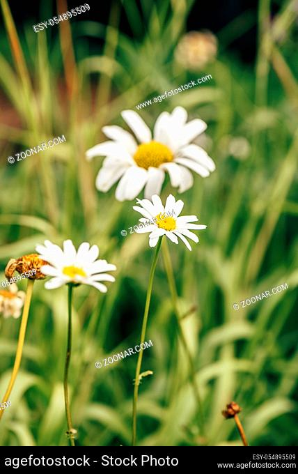 Meadow Daisy Flower at Sunny Day on Blurred Background