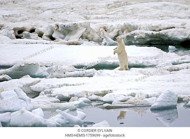 Russia, Chukotka autonomous district, Wrangel island, Polar bear (Ursus maritimus), Adult, young