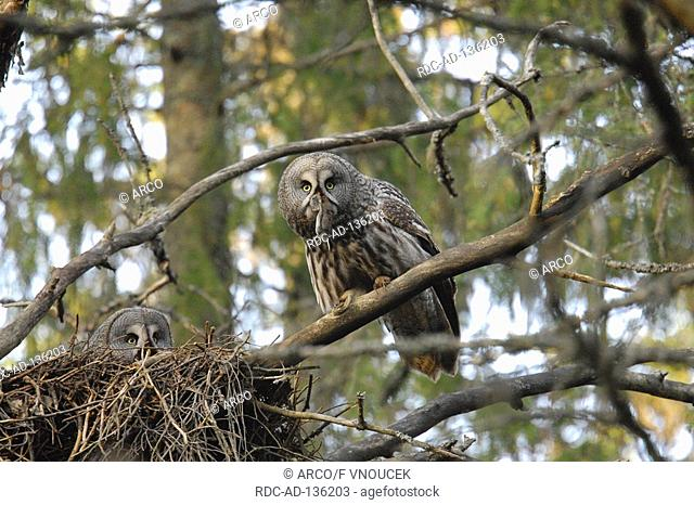 Great Gray owls pair at nest Finnland Strix nebulosa