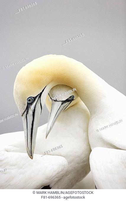 Northern Gannet Sula bassana pair engaged in courtship behaviour  Scotland  August 2007