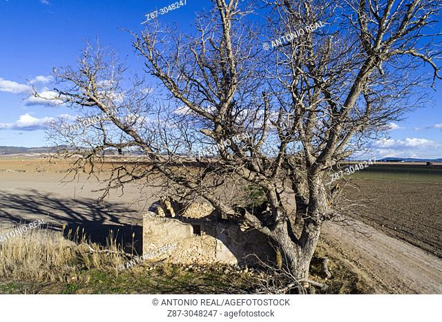 Hundred-year old Common Walnut (Juglans regia). Almansa. Albacete province. Spain