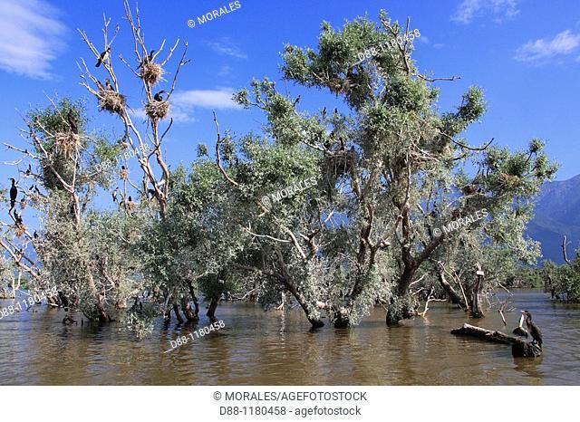 Great Cormorant  Kerkini lake  Greece  Phalacrocorax carbo Order : Pelecaniformes Family : Phalacrocoracidae
