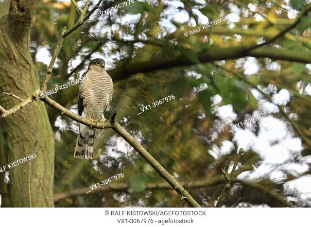 Eurasian Sparrowhawk ( Accipiter nisus ), adult male, perched in a tree, watching attentively, hunting, wildlife, Europe