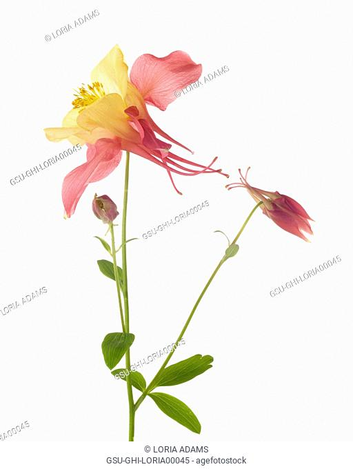 Swan Pink and Yellow Columbine, Aquilegia caerulea, against White Background