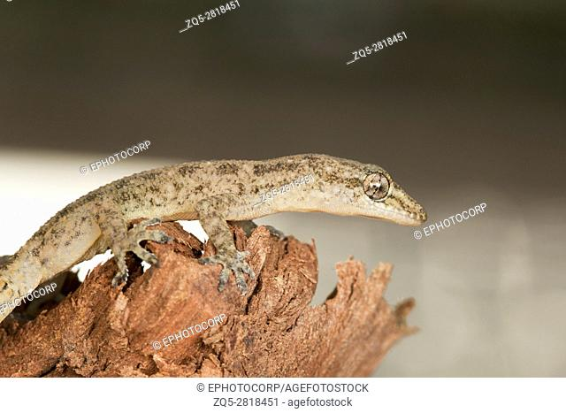Leaf toed gecko, Hemidactylus parvimaculatus, Bhoramdeo Wildlife Sanctuary, Chhattisgarh. Medium sized gecko seen under boulders in forests and in tree hollows