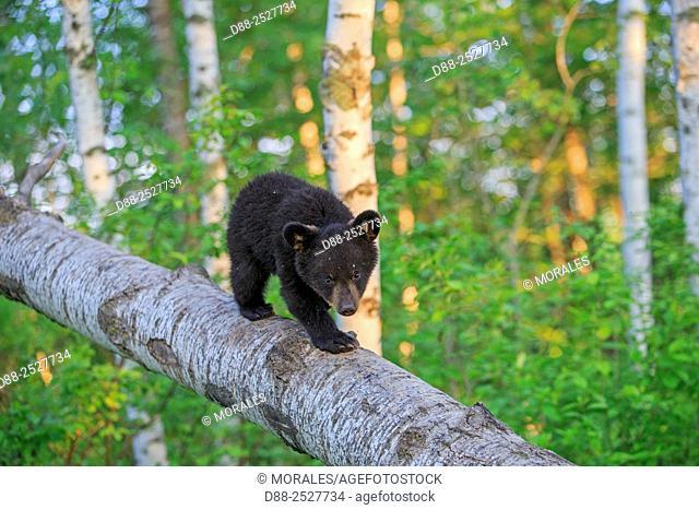 United States, Minnesota, Black bearUrsus americanus, young in a tree