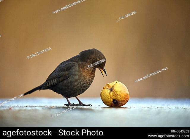 Blackbird (Turdus merula) female among apple. Moselle, France