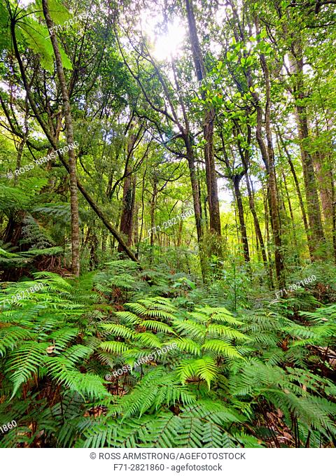 Ferns and native bush reserve in Trounson Kauri Park Northland, New Zealand