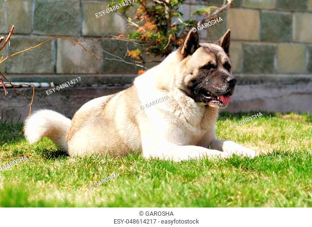 dog breed Akita inu lies on the grass in the summer, resting in the heat, sticking his tongue out