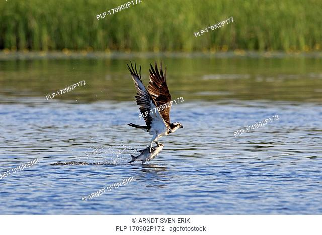 Western osprey (Pandion haliaetus) catching fish from lake with talons