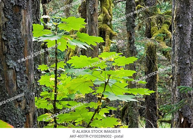 Spruce forest w/Devils Club Kodiak Island Southwest Alaska Autumn