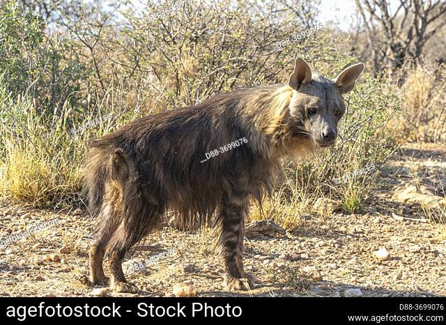 Africa, Namibia, Private reserve, Brown hyena or Strandwolf (Parahyaena brunnea, before Hyaena brunnea), captive