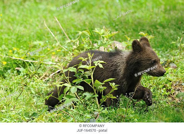 Brown bear - cub - running / Ursus arctos