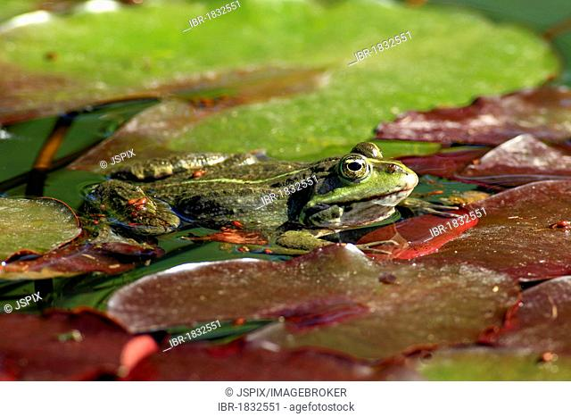 Edible frog (Rana esculenta), between water lilies in water, Luisenpark, Mannheim, Baden-Wuerttemberg, Germany, Europe