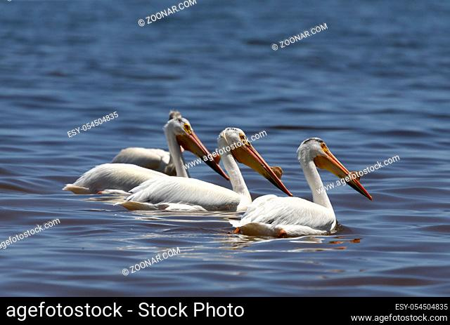 White American pelican(Pelecanus erythrorhynchos) after hunting, swallowing fish in the Great Lake Michigan