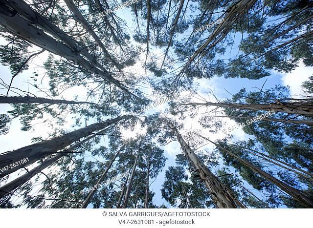 Eucalyptus forest in the Camino de Santiago, near Mondonedo, Lugo, Galicia, Spain, Europe