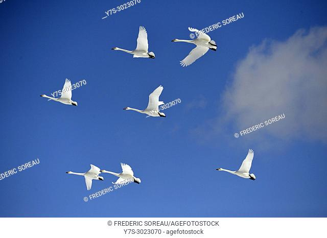 Song swans, Cygnus in flight, Kushiro-Shitsugen National Park, Kushiro, Hokkaido, Japan, Asia