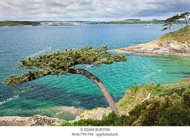 Pine tree on Carricknath Point, overlooking Carrick Roads towards Falmouth, Cornwall, England, United Kingdom, Europe