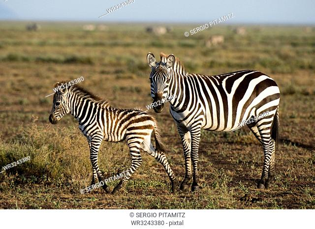 A plains zebra foal (Equus quagga) and its mother, Ndutu, Ngorongoro Conservation Area, Serengeti, Tanzania, East Africa, Africa