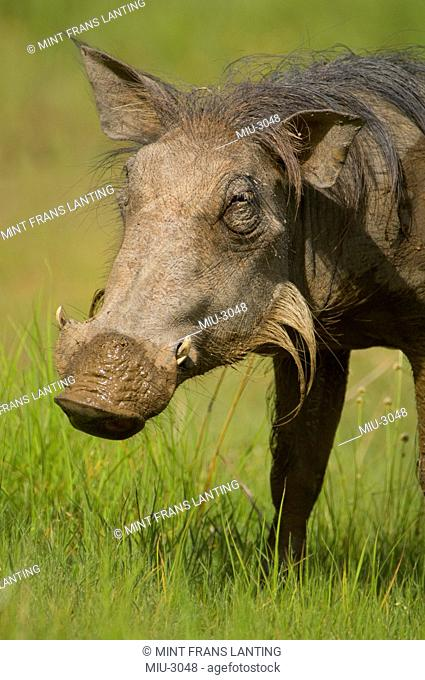 Warthog, Phacochoerus Africanus, Niokolo Koba National Park, Senegal