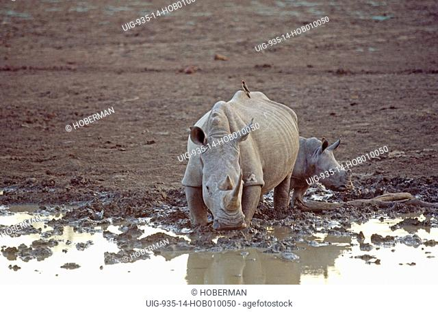 White Rhinoceros and Calf, South Africa