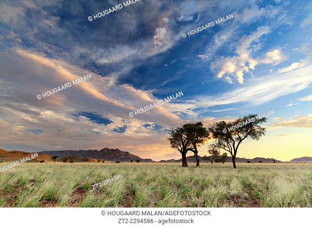 Landscape photo of camelthorn trees in a grassy valley under sunset skies. Namib Naukluft National Park, Namibia