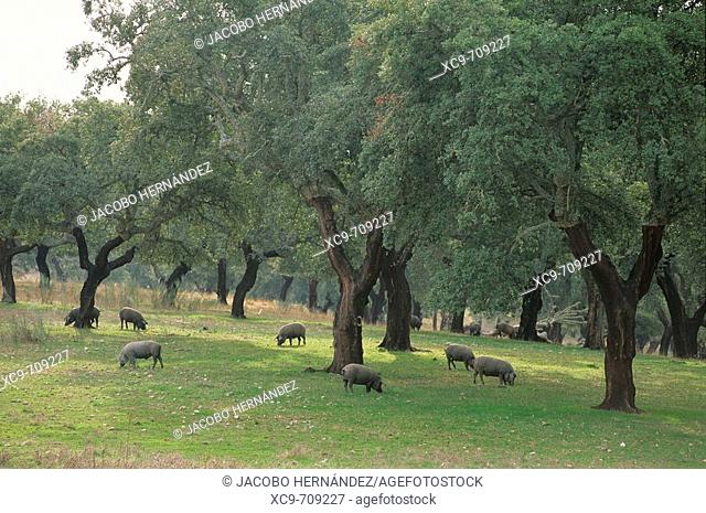 Iberian pigs on the dehesa (rangeland). Sierra de San Pedro. Extremadura. Spain