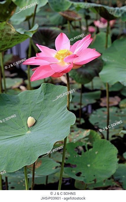 Indian Lotus,Nelumbo nucifera,Kota Kinabalu,Sabah,Malaysia,Borneo,Asia,blooming