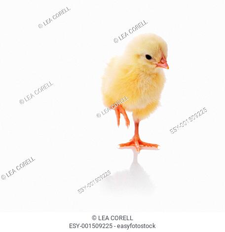 Cute little baby chicken isolated against white background