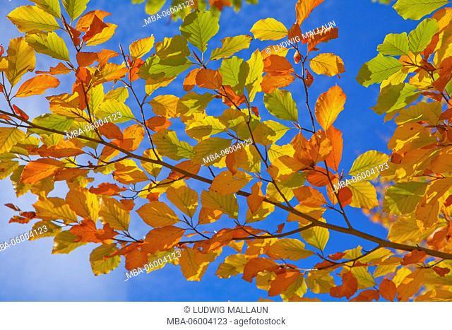 beech branch, beech leaves