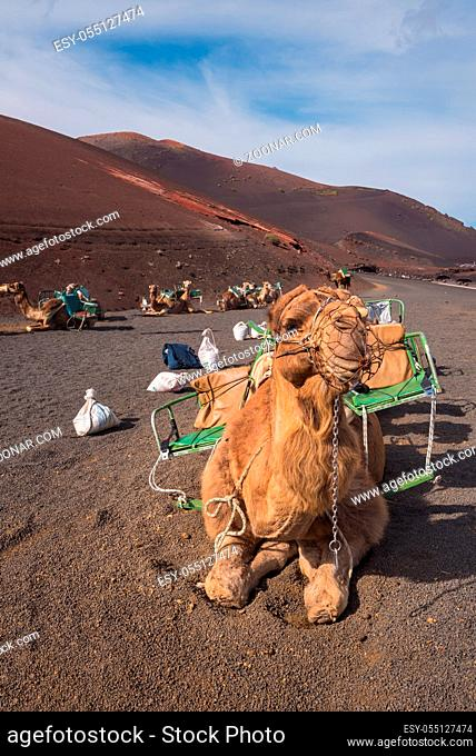 Camels resting in volcanic landscape in Timanfaya national park, Lanzarote, Canary islands, Spain