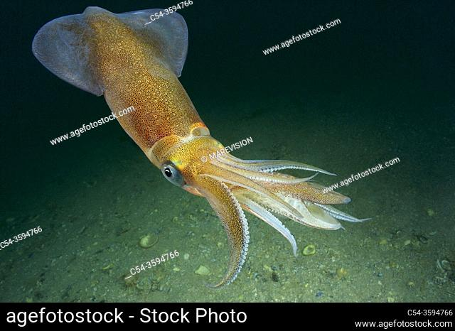 Common squid. Squid (Loligo vulgaris). Eastern Atlantic. Galicia. Spain. Europe