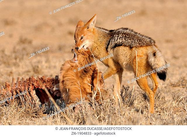 Black-backed Jackal, Canis mesomelas, eating, Kgalagadi Transfrontier Park, Northern Cape, South Africa