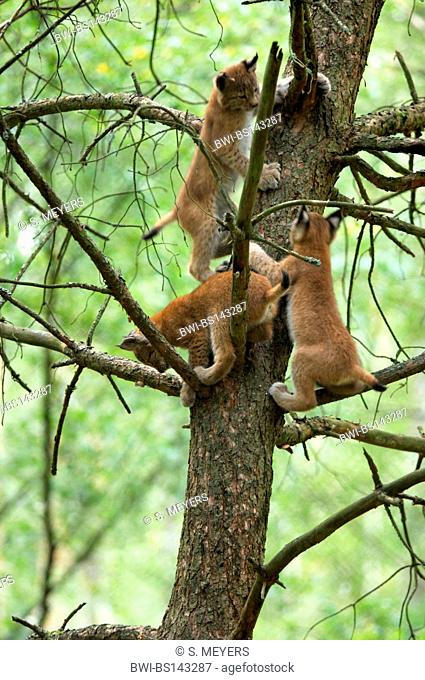 Eurasian lynx (Lynx lynx), young ones playing on a tree, Germany