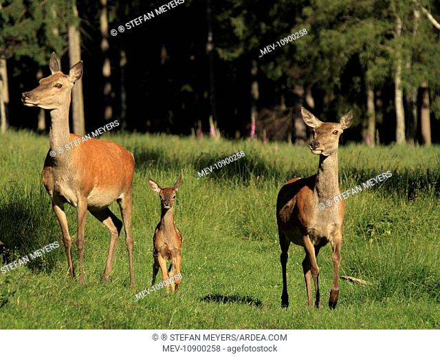 Red Deer (Cervus elaphus). hinds with fawn - Germany